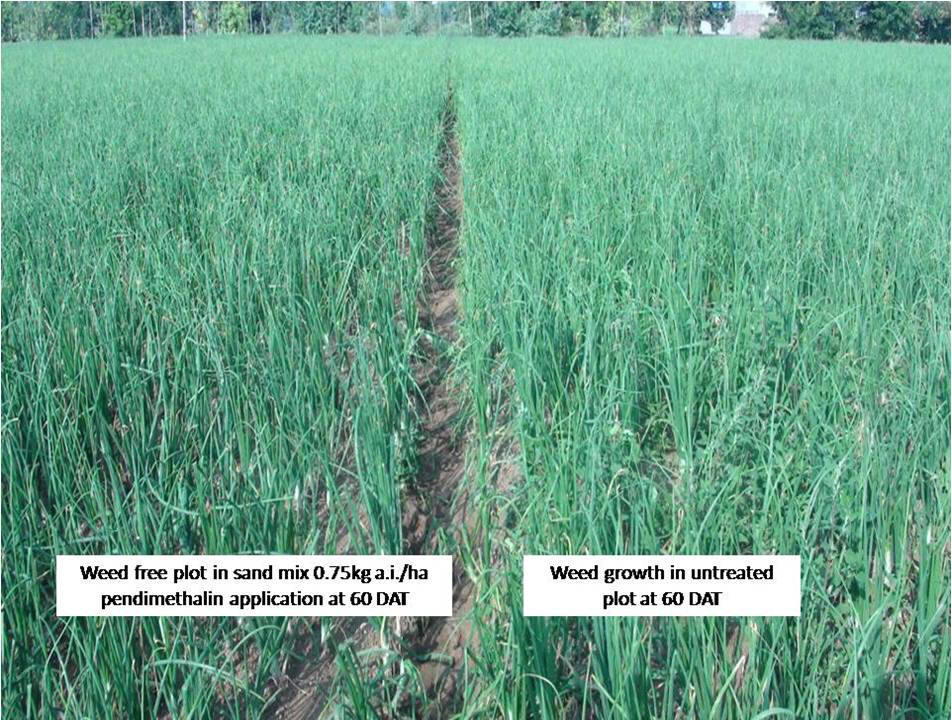 peanut thesis articles weed management The annual cultivated peanut  the annual cultivated peanut (arachis hypogaea l)  weed pressure appeared greater in year 2 and 3 than year 1,.