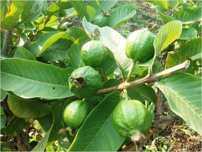 c0bb38c54 Guava Meadow Orchard Cultivation