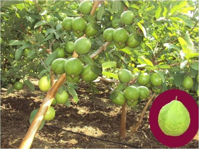 Guava Meadow Orchard Cultivation